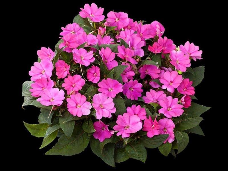 SunPatiens – Uma flor revolucionária no paisagismo